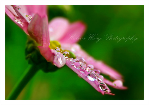 Droplets on Pink Daisy
