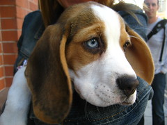 dog breed(1.0), animal(1.0), basset hound(1.0), hound(1.0), harrier(1.0), dog(1.0), treeing walker coonhound(1.0), english foxhound(1.0), american foxhound(1.0), pet(1.0), pocket beagle(1.0), basset artã©sien normand(1.0), finnish hound(1.0), hamiltonstã¶vare(1.0), estonian hound(1.0), beagle-harrier(1.0), drever(1.0), serbian tricolour hound(1.0), carnivoran(1.0), beagle(1.0), coonhound(1.0),