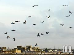 animal migration, wing, flock, bird migration, bird, flight,