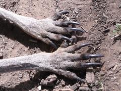 Kangaroo paws