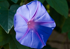 annual plant, ipomoea violacea, flower, purple, ipomoea alba, plant, macro photography, flora, four o'clocks, petal,