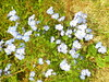 forget me not flower.