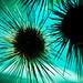 sea urchins by Sam Scholes