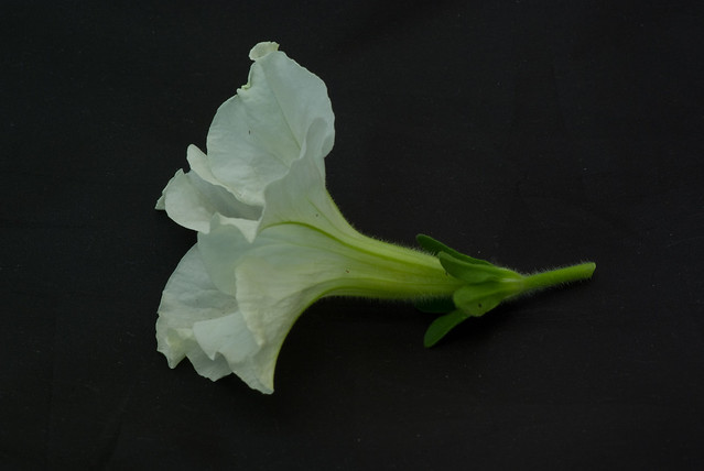 White Petunia Flower Isolated on Black Background