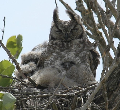 GHOW with owlets