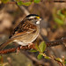 White-throated Sparrow / Bruant à gorge blanche