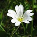 Field Chickweed - Photo (c) Kristian Peters, some rights reserved (CC BY-NC-SA)