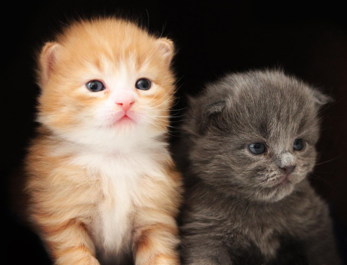 Cat Commercial Kitten
