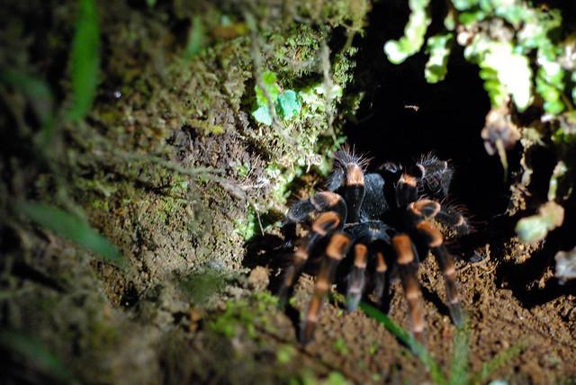 Tarántula en la Reserva biológica Bosque Nuboso Monteverde, Costa Rica