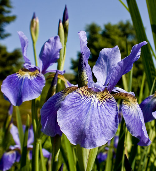Image Restless Siberian Iris - 2- Cold weather-tough perennials - ArborScape Denver Tree Service blog