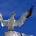 Gannet preacher man by Podgey