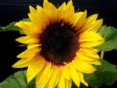 Various flower types Sun flower 25 07 2008 003
