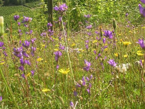 Bellflowers with vineyard below