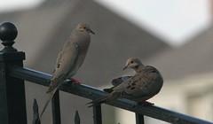 Illinois Yard Birds
