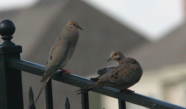 Mourning Dove Pair 2008_08_01
