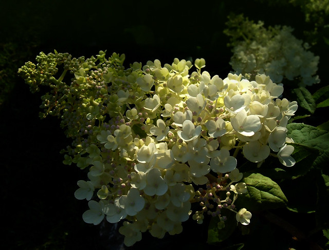 hydrangea paniculata grandiflora flickr photo sharing. Black Bedroom Furniture Sets. Home Design Ideas