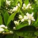 Small photo of Citrus Blossom