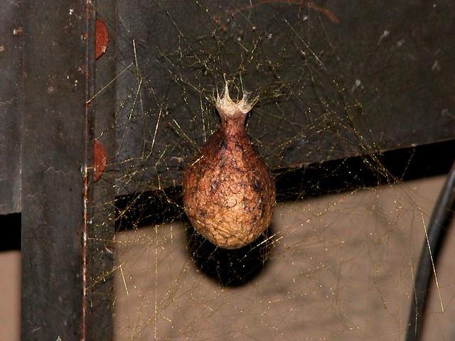 3 Ways to Identify a Nursery Web Spider  wikiHow