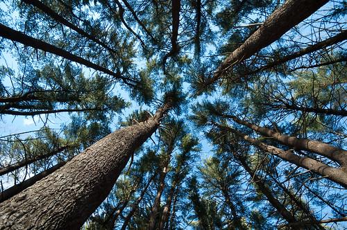 tree pine newjersey unitedstates essexcounty nj pineneedles ccc southorange sigma1020mm civilianconservationcorps pinegrove southmountainreservation essexcountyparks nikond90club