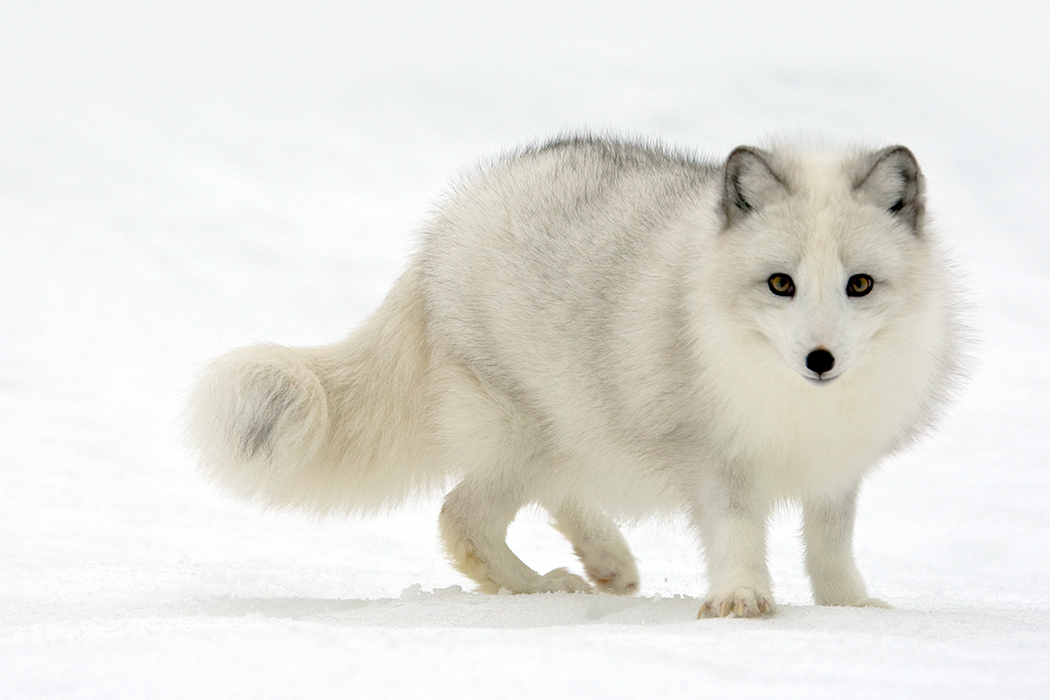 Arctic Fox | Click here to View LARGE! | By: Stephen Oachs ...
