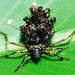 ASSASSIN BUG @ Serendah