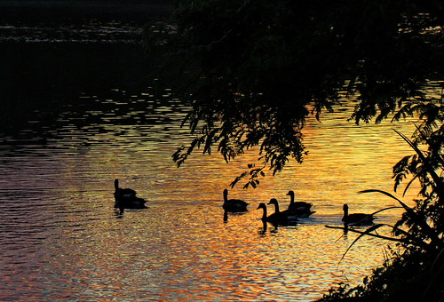 newzealand lake sunrise rotorua canadageese drifting rotoiti okawabay