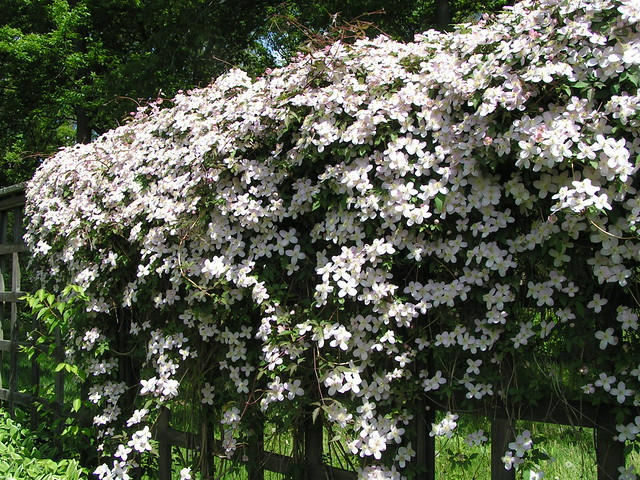 clematis montana rubens 2 flickr photo sharing. Black Bedroom Furniture Sets. Home Design Ideas