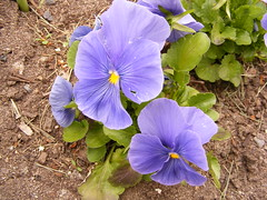 pansy, annual plant, flower, purple, wildflower, flora, petal,