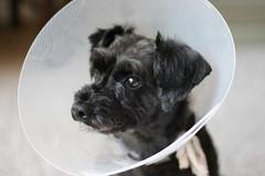 dog breed, animal, puppy, dog, pet, mammal, standard schnauzer, cairn terrier, miniature schnauzer, terrier,