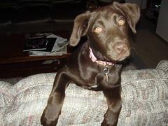 labrador retriever(1.0), animal(1.0), dog(1.0), pet(1.0), mammal(1.0), weimaraner(1.0),