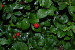strawberries(0.0), flower(0.0), strawberry(0.0), produce(0.0), food(0.0), cloudberry(0.0), shrub(1.0), berry(1.0), leaf(1.0), mock strawberry(1.0), plant(1.0), herb(1.0), green(1.0), fruit(1.0), dewberry(1.0),