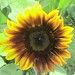Beautiful Indian Summer Sunflower 001