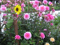 garden cosmos(0.0), peony(0.0), asterales(1.0), annual plant(1.0), dahlia(1.0), flower(1.0), plant(1.0),