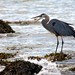Heron Eating Fish by Duncan Rawlinson - Duncan.co - @thelastminute