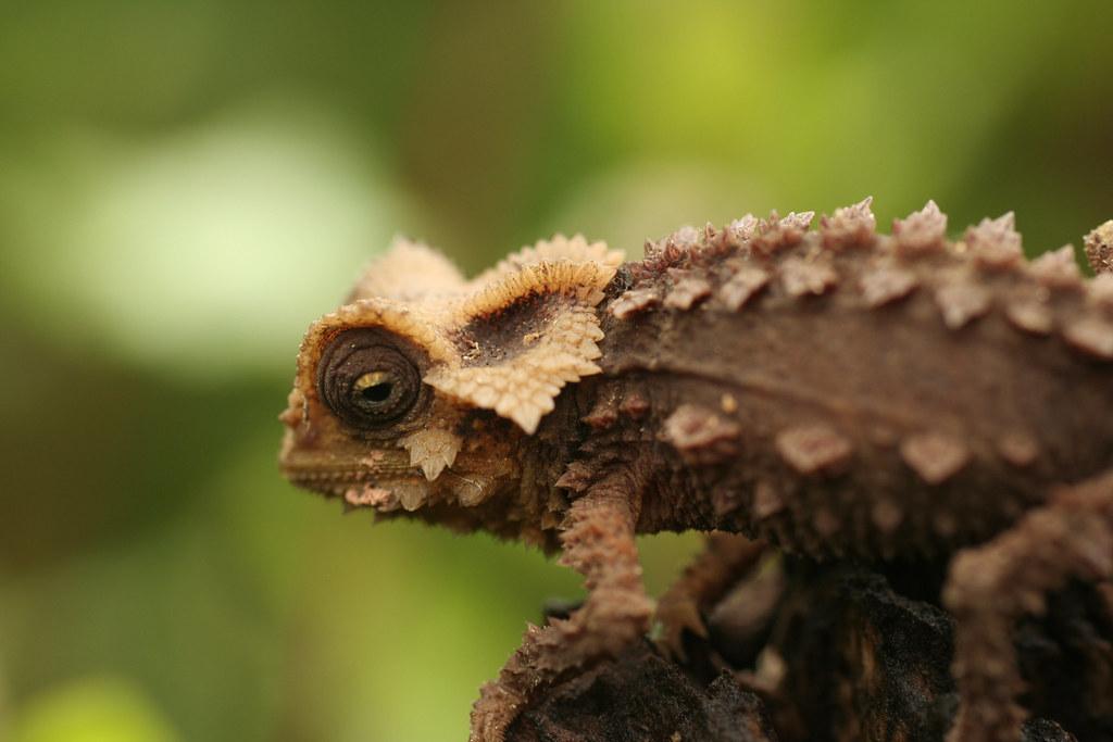 Antsingy Leaf Chameleon Exotic Reserve Peyrieras Madaga Flickr