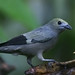 Palm Tanager - Photo (c) David Cook, some rights reserved (CC BY-NC)