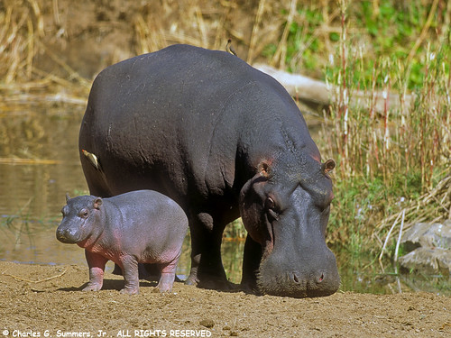 05750-01217 Hippopotamus baby stays close to Mother for portection