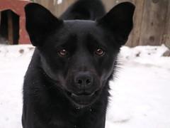 dog breed, animal, kai ken, dog, street dog, greenland dog, carnivoran,