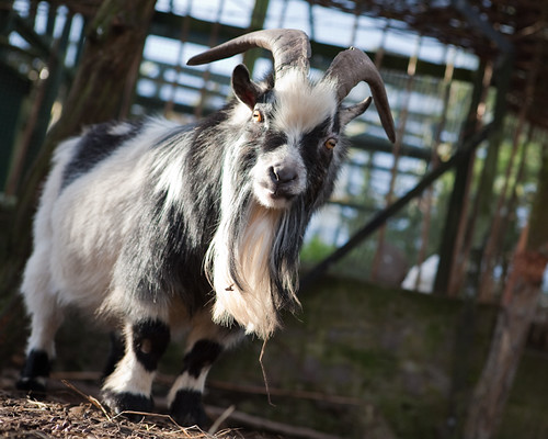 Pygmy Goat Billy