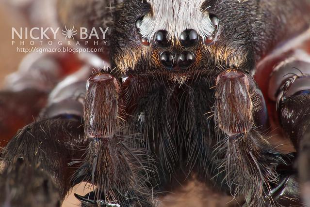 Wandering Spider (Ctenidae) - DSC_9337