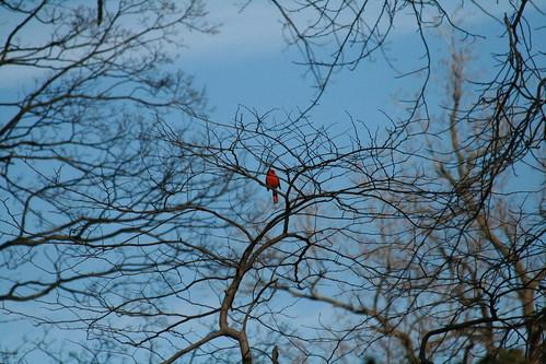 Cardinal in BBG's Native Flora Garden