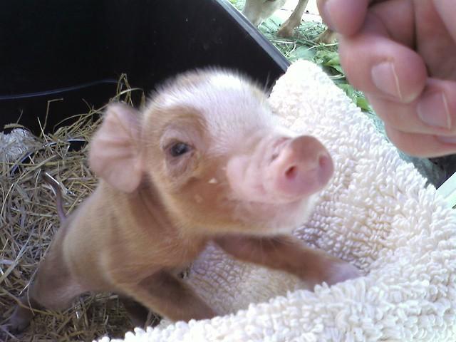 Worlds cutest piglet - photo#5