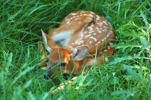 urban usa grass yard perfect photographer wildlife deer pa fawn spotted bambi lower monroeville whitetail the naturesfinest flickrelite rodkey