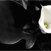 Black-and-white - White Calla Lily IMGP2595