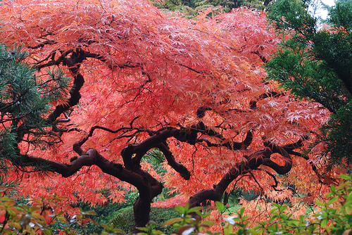 Japanese Maple Tree Flickr Photo Sharing