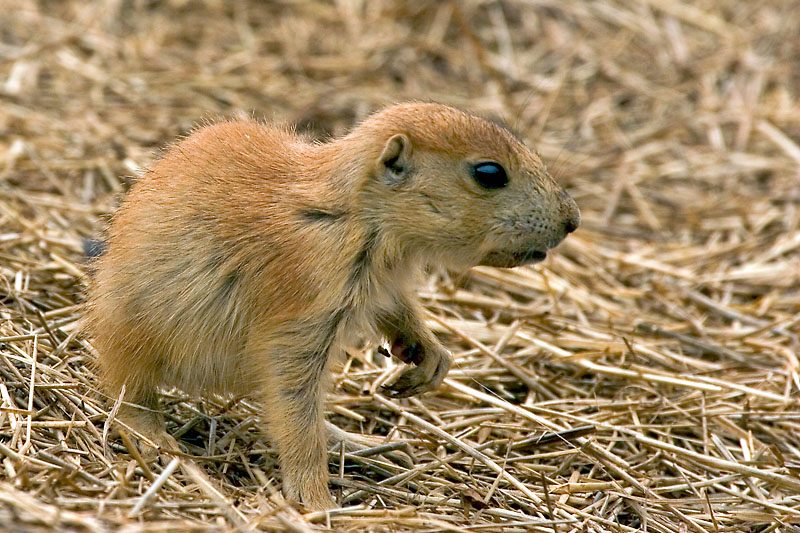 Baby Prairie Dog - a photo on Flickriver