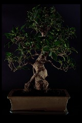 leaf, tree, plant, sageretia theezans, houseplant, bonsai,