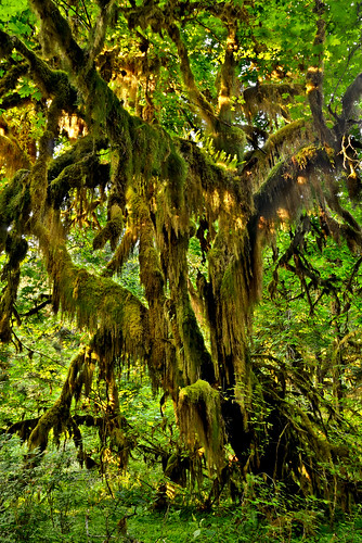park vacation fern green nature rain forest landscape outdoors washington moss nikon hoh rainforest pacific northwest nps national pacificnorthwest wa lichen olympic np lush ferns olympicnationalpark pnw epiphytes mosses epiphytic hohrainforest d300 naturesfinest temperate bigleafmaple 2008reunionnature primevalforestgroups pfmoss pfmossmonster