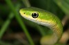 Rough Green Snake - Photo (c) Patrick Coin, some rights reserved (CC BY-NC-SA)