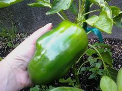 $3 bell pepper